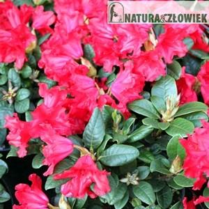 Różaneczniki miniatury różne odmiany