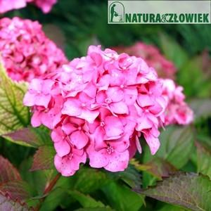 Hortensje ogrodowe, różne odmiany