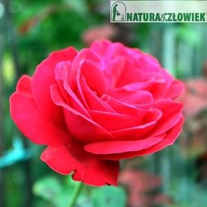 Róże wielkokwiatowe różne odmiany