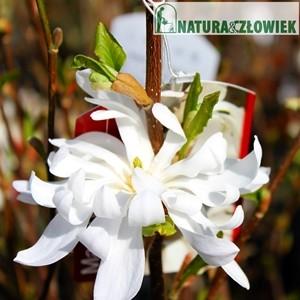 Magnolia gwieździsta Waterlily