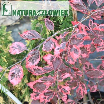 Buk Purpurea Tricolor